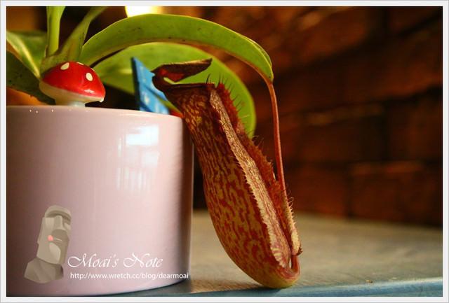 【生活記錄】豬籠草養殖日記~綠意盎然的小盆栽