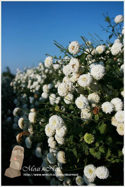 【苗栗銅鑼】九湖農場杭菊季~倒數三週花期的小幸福